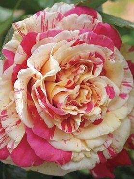 Роза в'юнка Vanille Fraise(1 шт)