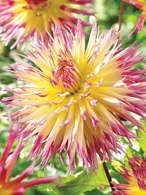 Жоржина кактусова бахромчата Lindsay Michelle (1 шт) - 1