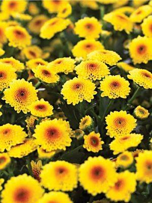Хризантема срезочная Calimero Shiny (3 шт) - 1