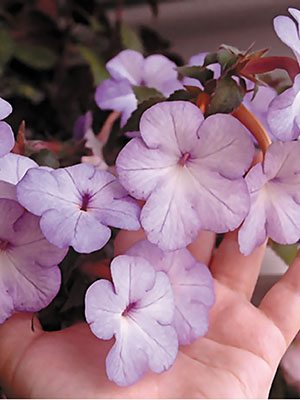 Ахименес гибридный Cattleya (5 шт) - 1