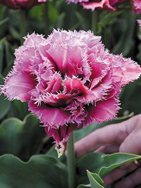 Тюльпаны Махровые бахромчатые Mascotte 1112 (3 шт)