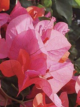 Бугенвілея Vera Pink (1 шт) осінь