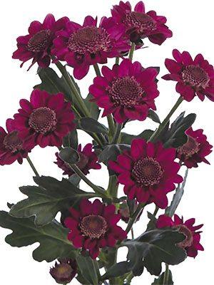 Хризантема срезочная Robini (3 шт) - 1
