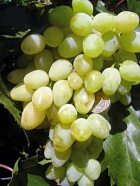 Виноград Долгожданный(1 шт)