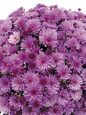 Хризантема дрібноквіткова низькоросла Bransound Purple (3 шт)