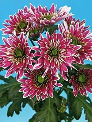 Хризантема срезочная Ermeti (3 шт) - 1