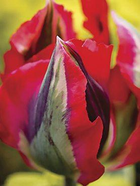 Тюльпани Зеленоквіткові Hollywood 1112 (20 шт)