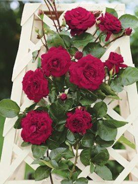 Роза в'юнка Nahelglut (1 шт)