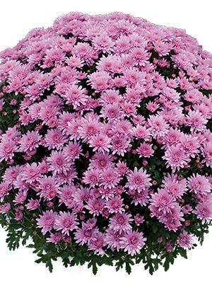 Хризантема дрібноквіткова низькоросла Branopal Pink (3 шт) - 1