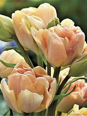 Тюльпаны Махровые поздние Charming Ledy 11/12 (20 шт)
