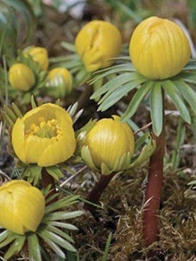 Весенник киликийский 45 (5 шт)