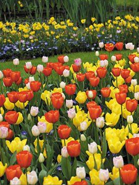 Тюльпани Тріумф, суміш 1012 (10 шт)