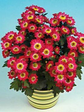 Хризантема срезочная Pico Solo (3 шт)