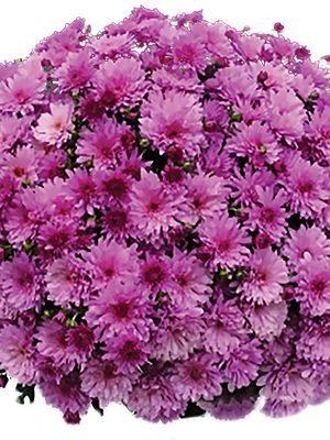 Хризантема дрібноквіткова низькоросла Branopal Purple (9 шт) - 1