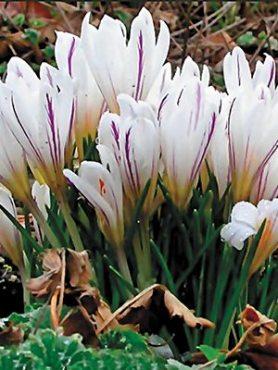 Крокус ботанический разноцветный Picturatus 5+ (3 шт)