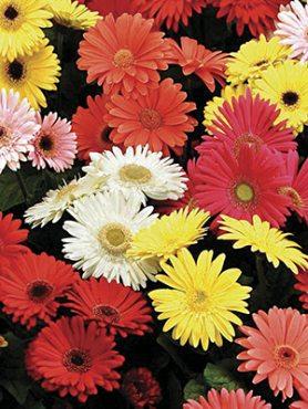Гербера садовая Garden Beauty, смесь (6 шт)