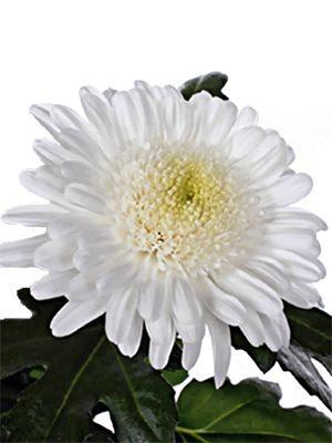 Хризантема срезочная Eleonora White (3 шт) - 1