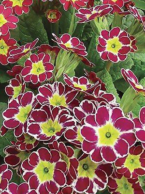 Примула полиантовая Victoriana Lilac F1 (3 шт) - 1