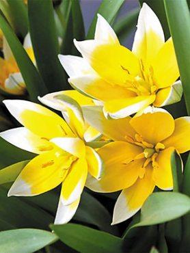 Тюльпан ботанічний пізній 68 (3 шт)