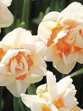 Нарциссы Махровые Flower Parade 12/14 (3 шт)