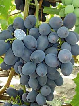 Виноград Гала(1 шт)
