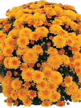 Хризантема мелкоцветковая низкорослая Branhalo (3 шт)