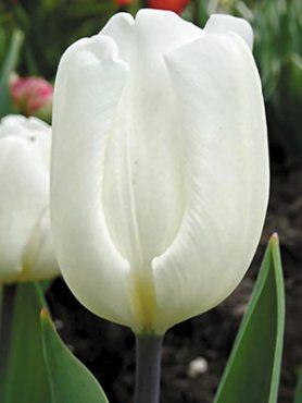 Тюльпани Дарвиновы гібриді. White Flag 1214 (3 шт)