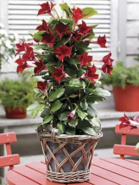 Дипладения Bloom Bells Red (1 шт)
