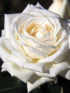 Роза чайно-гибридная Roger Whittaker (1 шт)