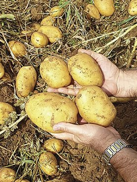 Картофель Сенсейшн (1 кг)