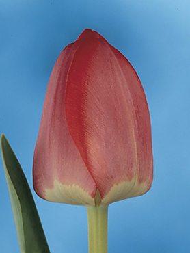 Тюльпаны Дарвиновы гибр. Spring Song 12+ (3 шт)