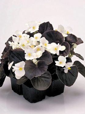 Бегония вечноцветущая  Nightlife White (10 шт)