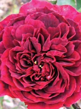 Роза шраб William Shakespeare (1 шт)