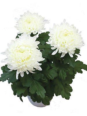 Хризантема горщикова Stromboli White (9 шт) - 1