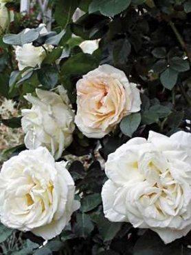 Роза в'юнка Schneewalzer (1 шт)