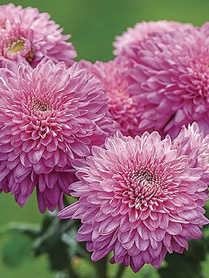 Хризантема срезочная Gompie Purple (9 шт) - 1