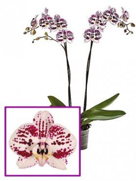 Фаленопсис гибридный Decoration (1 шт)