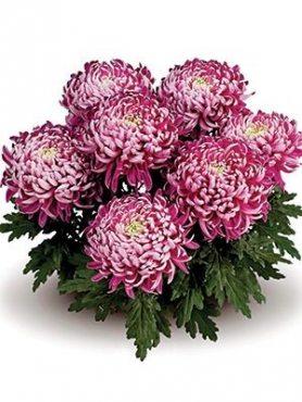Хризантема горшечная Trumpf Violett (9 шт)