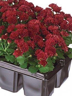 Хризантема дрібноквіткова низькоросла Baby Mum Red (9 шт)