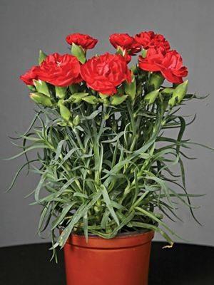 Гвоздика садовая Lillipot Scarlet (1 шт) - 1
