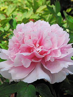 Півонія деревоподібна Zhao's Pink (1 шт)