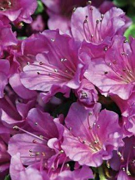 Рододендрон японський Geisha Purple (1 шт)