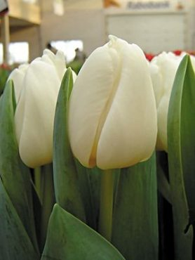 Тюльпани Тріумф Antarctica 1112 (3 шт)