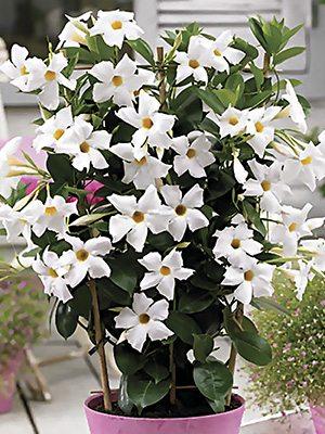 Дипладения Bloom Bells White (1 шт) осень - 1
