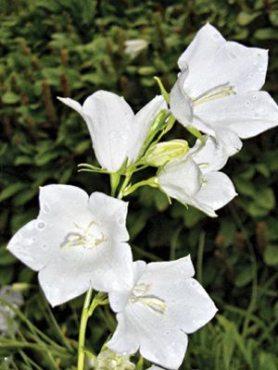 Колокольчик персиколистный Белый колокол, белый (0,2 г)