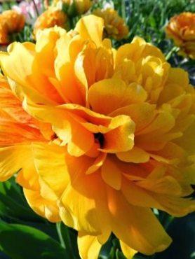 Тюльпаны Махровые поздние Sun Lover 10/11 (100 шт)