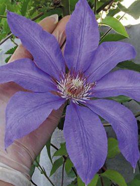 Клематис гібридний Lawsoniana (1 шт)
