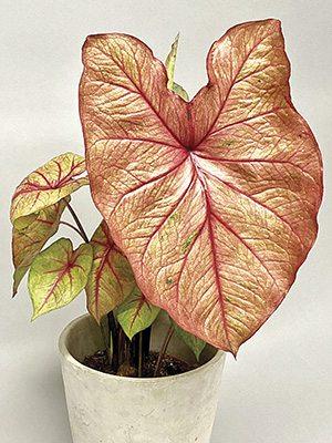 Каладиум двухцветный Autumn Beauty (1 шт) - 1