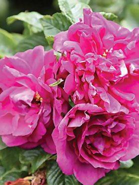 Роза морщинистая Roseraie De L'Hay (1 шт)