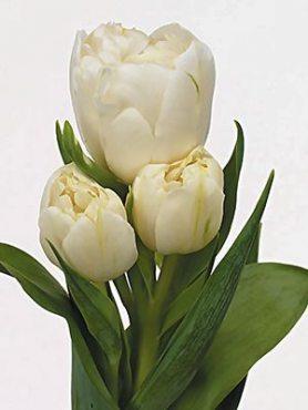 Тюльпани Багатоквіткові Rialto 12+ (3 шт)